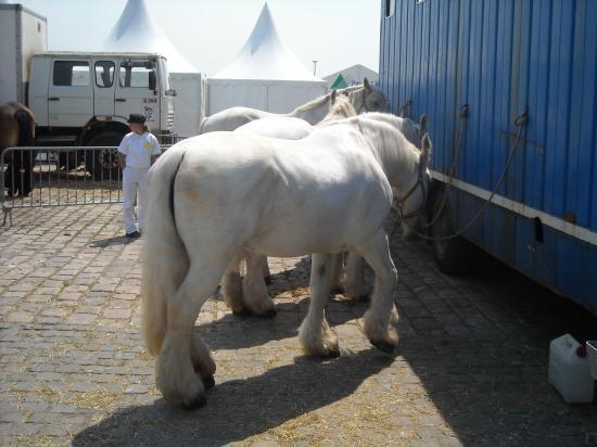 Les sympathiques promenades dans les fêtes en attelages avec de robustes chevaux de trait  .. Bel ex de reconversion réussie !
