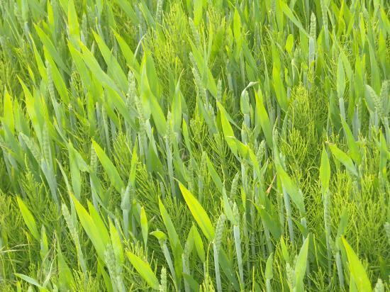 Champ de chlorophylle ; à jamais le vert bienfaiteur plus que le rouge sanguin !